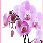 Flower Orchids Wallpapers
