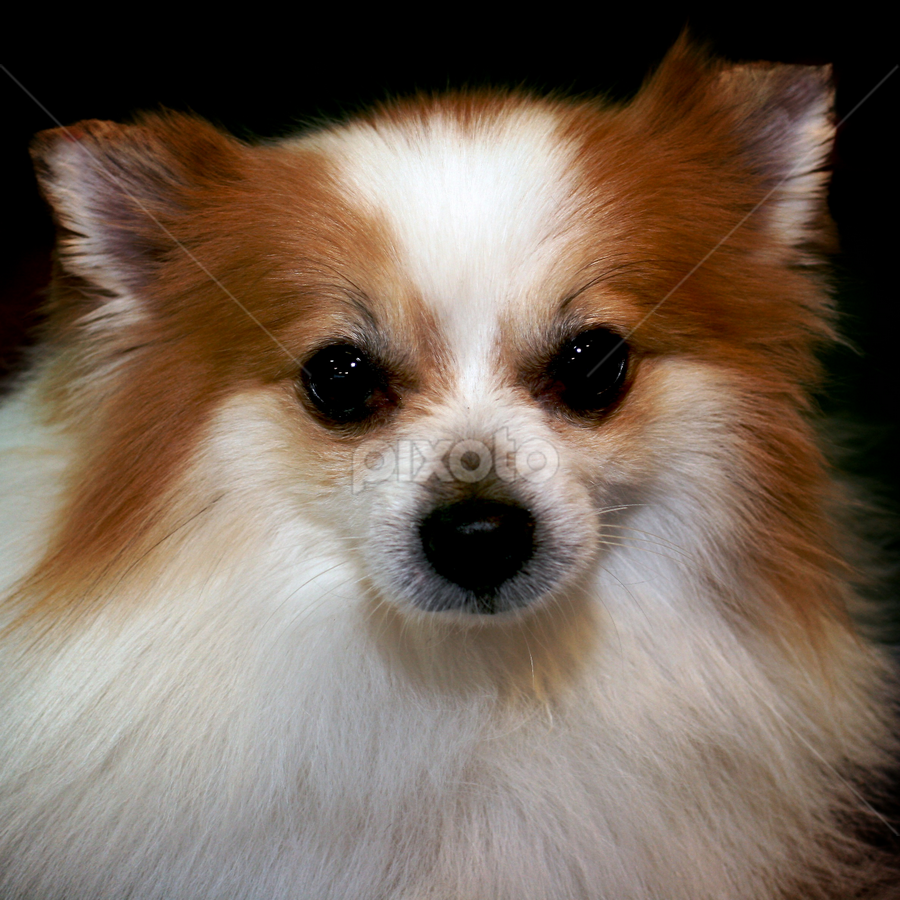 Buddy Bojangles by Julie Anderson - Animals - Dogs Portraits