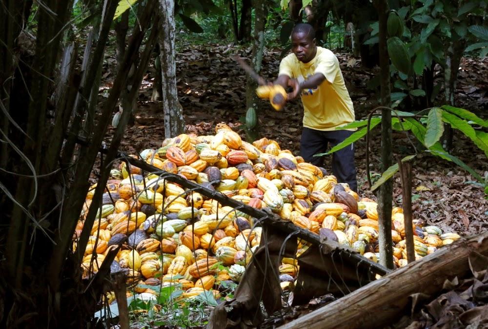 Geswelde lote wat kort kakaobome en lewensmiddele in Ghana sny