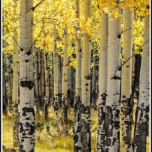 Aspen Trees in Fall.jpg