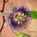 Passiflora 'Soi Fah' aka (Krishnakamala in India)