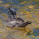 Pato-mergulhão (Brazilian Merganser)