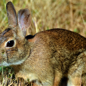 Alert Cottontail Bunny Face Close Up by Sheri Fresonke Harper - Animals Other Mammals ( face, macro, bunny, alert, cottontail, close up,  )