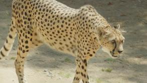 Cheetah on the Run thumbnail