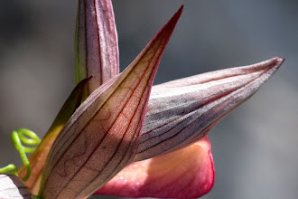 Photo: Serapias sp. (Orchidea)