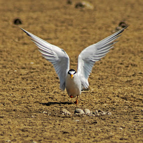 My Egg by Rusman Budi Prasetyo - Animals Birds ( bird, wing, tern, wildlife, egg,  )