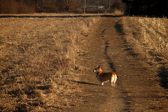 Photo: Corgi in the fileds My ever faithful photo assistant doesn't get featured as prominently as she should in my #365Project curated by +Simon Kitcher and +Susan Porter. If it's a photo of mine taken outdoors near my home, Carson's with me.  #bestdogever