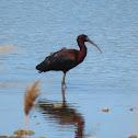 Glossy ibis. Morito común