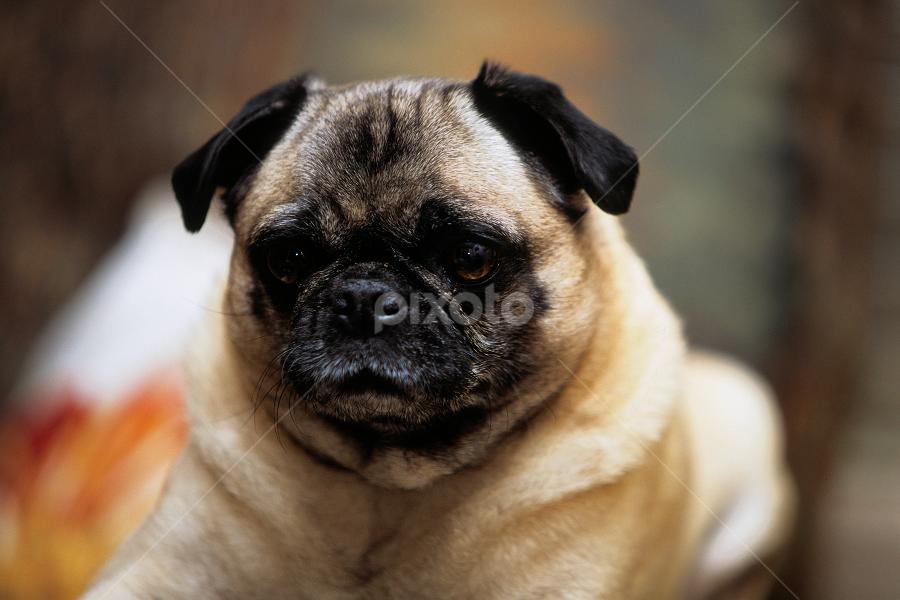 by Brent Bristol Sr. - Animals - Dogs Portraits
