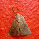 Unidentified Erebid Moth