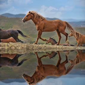 Wild horse reflections by Alan Crosthwaite - Animals Horses ( stallion, wild, free, equine, stallions, horses, reflections, running, reflect )