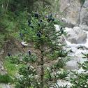 Pindrow fir