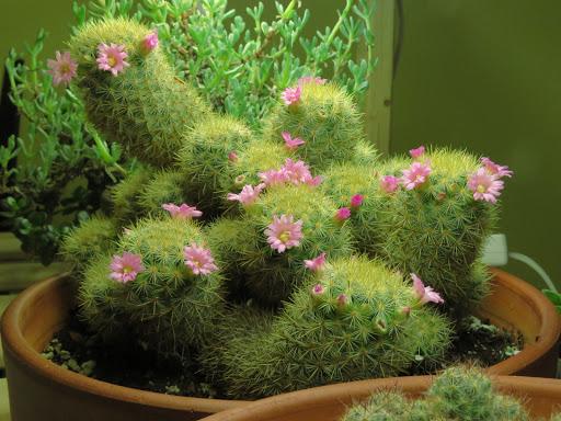 Mes petites plantes grasses et cactées - Page 4 GmNWxJSWJAS1Wm6OM10tNToNONNHkmHe7jpkVfjf1CvHnumE7ArsBHYP_4sSdt01w5dmUivdN9Rd9K6bl70hsUXWYwEnOlwpU8LUkQokuXy3RS6Vf3m-hYGBDQgo97LhVYrdIg_RKC8
