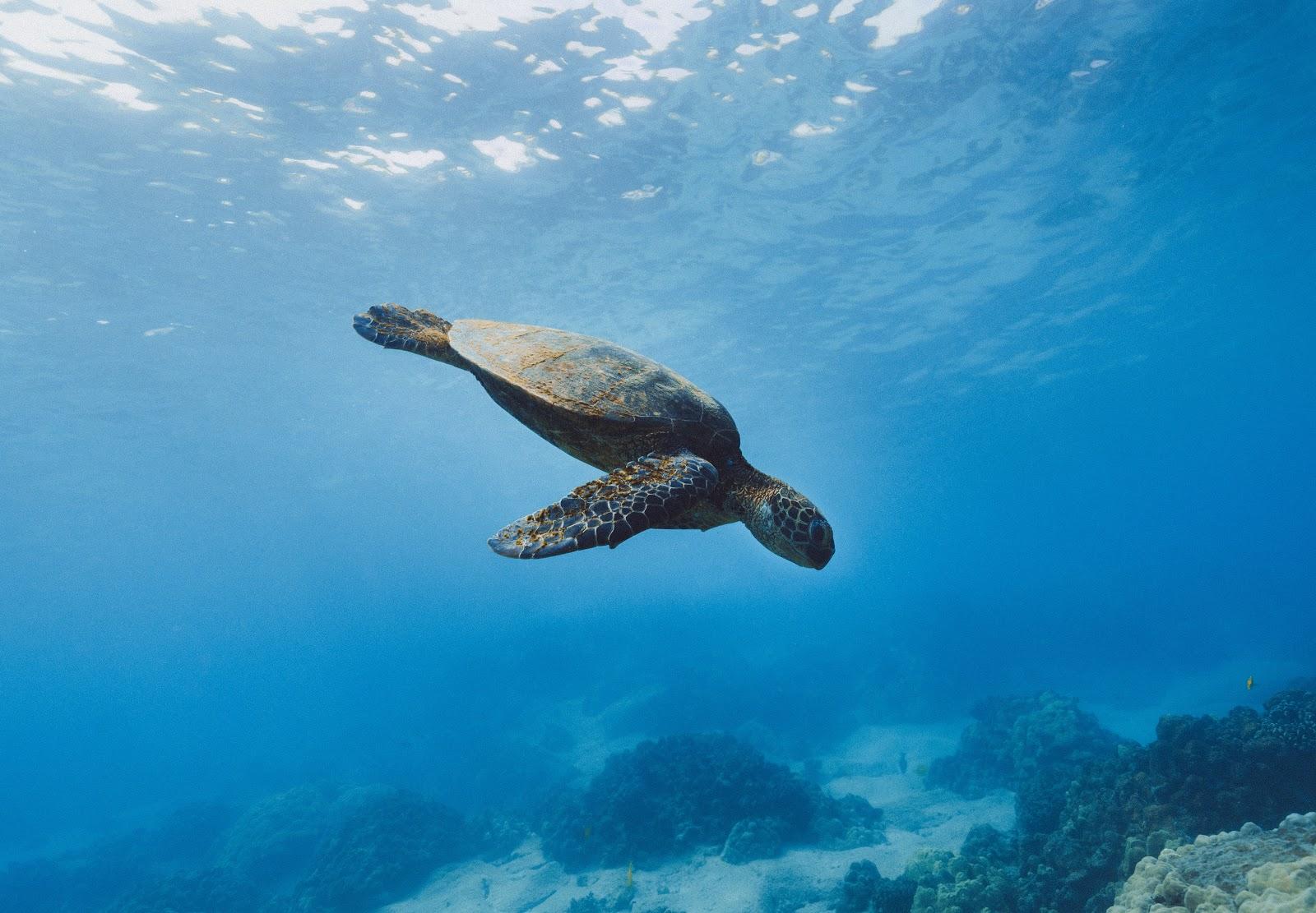 turtle at Makena Beach