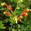 Flor del flamenco