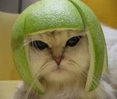 Con mèo và nón bảo hiểm