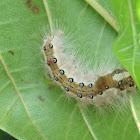 Clearwing Tussock Moth Caterpillar