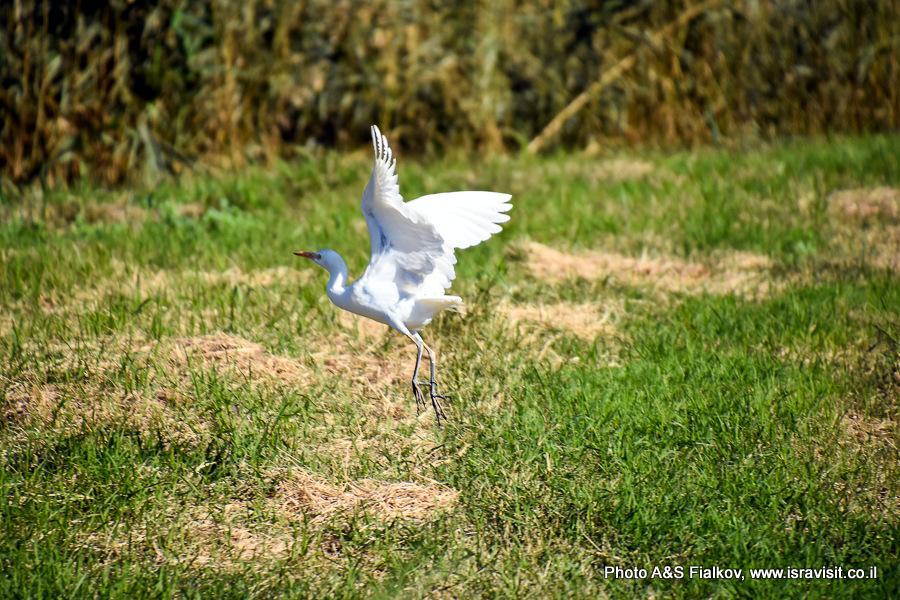 Цапля. Наблюдение птиц в заповеднике Хула.