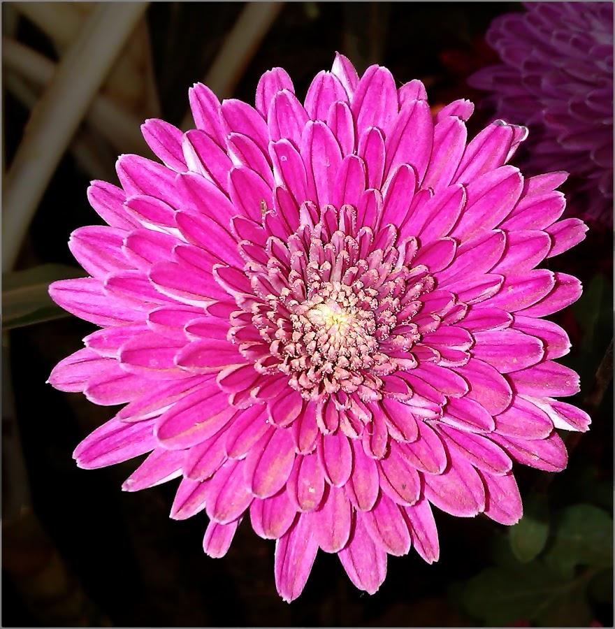 Pink Flower by Swagat Suryawanshi - Instagram & Mobile Android ( novice, pinkflower, nature, amateur, pink, phonecamera, flower )