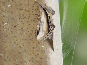 Photo: 13 Aug 13 Middle Pool: Lesser Swallow Prominent moth on lamp near Trench Middle Pool. (Ed Wilson)