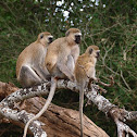 Cercopiteco verde (Vervet monkey)