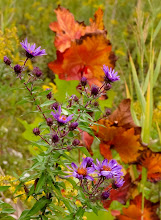 Photo: Fall For Me Purple From the archives, Ohio 2012 :) I barely got out at all this fall to shoot! Can I have a do over, please? Have a great weekend everyone! #floralfriday +FloralFriday+Tamara Pruessner+Eustace James+Beth Akerman+Kiki Nelson #piecesofmylife  #autumnphotography  #flowerphotography  #ohio