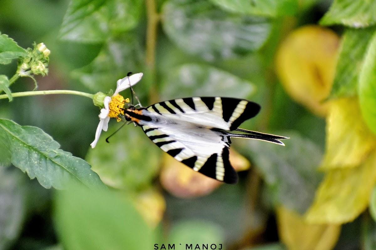 Five-Bar Swordtail / Kite Swallowtail Butterfly / तरवार-पुच्छरे पुतलीको प्रजाती