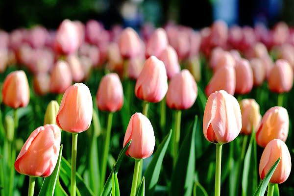 tulipani rosa di SALVATORE PETRENGA