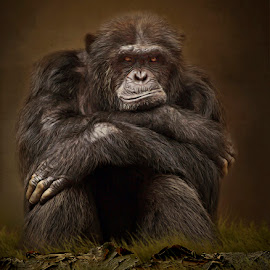 Why's Everybody Always Staring at Me? by Ann J. Sagel - Digital Art Animals ( monkey, textured, topaz, chimpanzee, ann j. sagel )