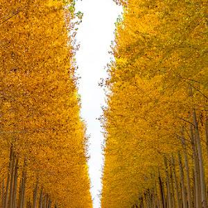 popler trees and road_s.jpg