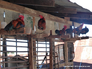 Photo: Roosters used as lures to catch jungle chickens