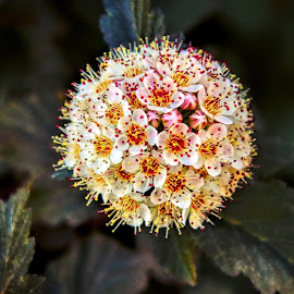 Shrub bloossoms by Bruce Newman - Flowers Tree Blossoms ( nature, macro photography, flower closeup, colors,  )