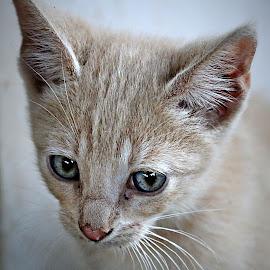 Biscuit by Pieter J de Villiers - Animals - Cats Kittens