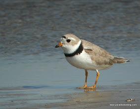 Photo: Piping Plover, Bolivar Flats Shorebird Sanctuary, upper Texas Coast