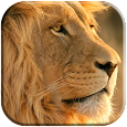 Lion Live Wallpaper apk