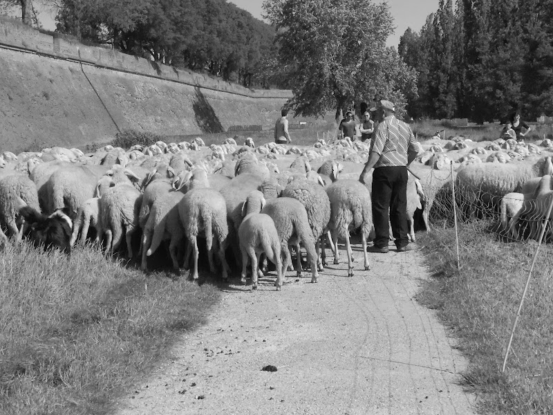 Pecore sulle mura di Ferrara di supergigi