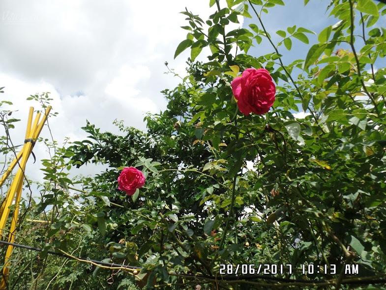Hồng Othello. Ảnh chụp cuối tháng 06/2017. Cây hiện đã cao trên 2,5m. Khả năng cho hoa của hồng Othello tốt. Nhưng chủ yếu ra hoa đơn.
