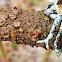 Abraded camoflauge lichen
