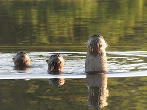 Photo: Edgartown Great Pond Otters - Photo by Anne Mazar