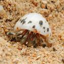 Tawny Hermit Crab