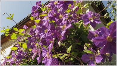 Photo: Curpen de grădină  (Clematis jackmanii) - din Turda,  Str. Ecaterina Teodoroiu, Nr.10 in curte - 2019.06.14