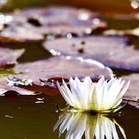 Lilly pad in Africa by Angie Birmingham - Flowers Single Flower ( water, pad, reflection, white, lake, lilly )