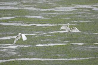 Photo: Egrets