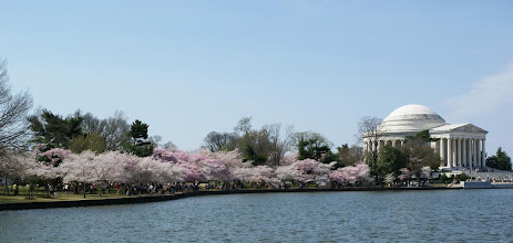 Photo: The Jefferson Memorial with cherry blossoms along the Tidal Basin