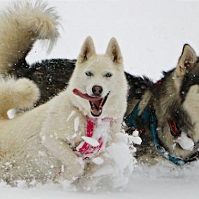 by Kari Schoen - Animals - Dogs Running (  )