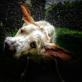 Shake it off by Matthew Miller - Animals - Dogs Portraits