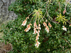 Photo: Pieris japonica in Streb Garden-Lily of the Valley shrub