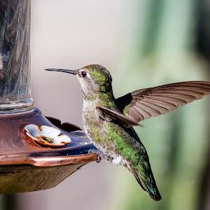Anna Hummingbird-41.jpg