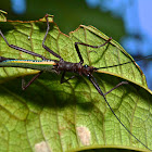 Stick Insect, Phasmid