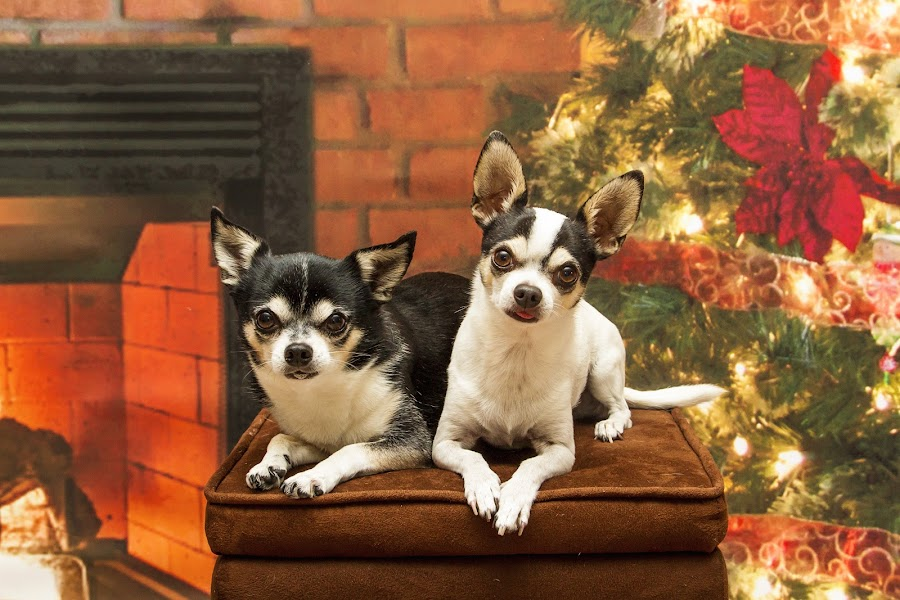 Christmas Chihuahua's by Debbie Quick - Public Holidays Christmas ( chihuahua, debbie quick, dog, christmas, holiday, debs creative images, pet,  )